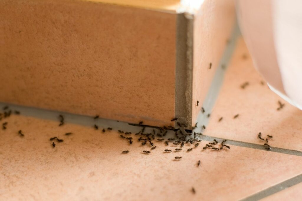 How to Get Rid of Ants Indoors