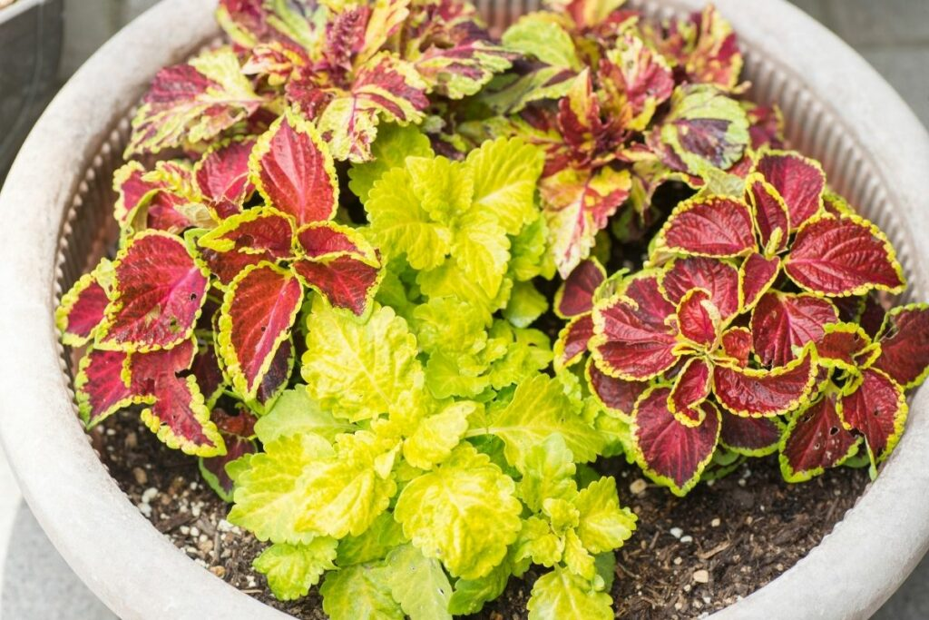 How to Take Care of a Coleus Plant