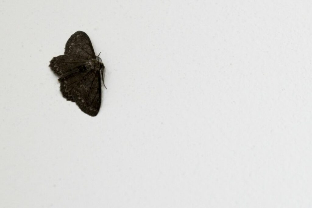 How to Get Rid of Small Black Moths