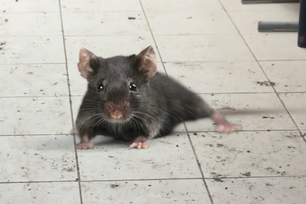 Can Rats Climb Walls or How Do They Get In?