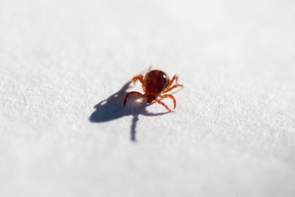 How To Get Rid Of Chiggers In Bed