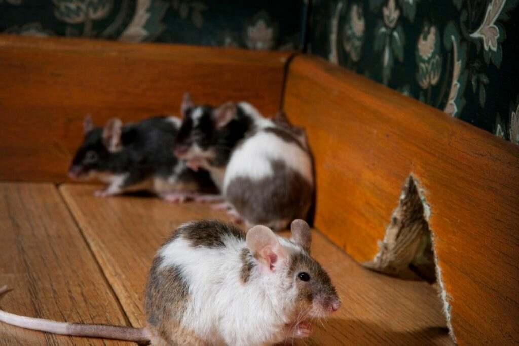How To Get Rid Of Mouse Urine Smell