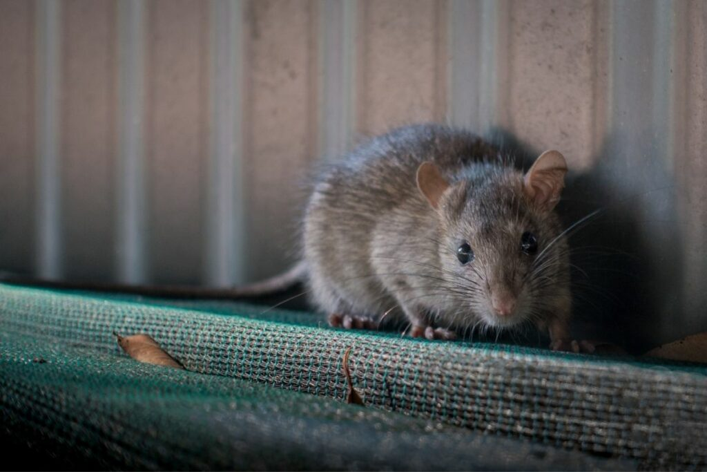 How To Get Rid of Rats In The Yard Without Harming Pets