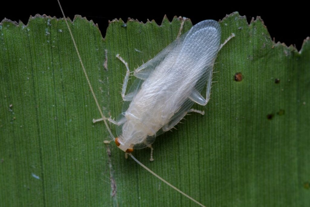 How do you get rid of white cockroaches
