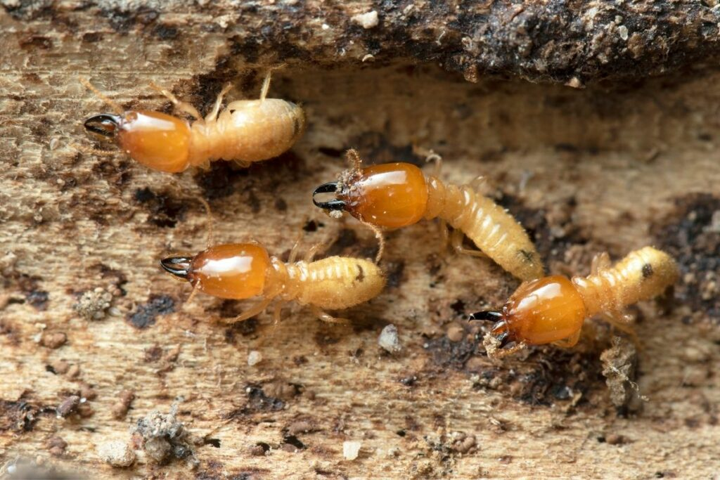 King Termites how do you get rid of them